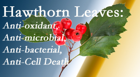Spengel Chiropractic presents new research regarding the flavonoids of the hawthorn tree leaves' extract that are antioxidant, antibacterial, antimicrobial and anti-cell death.